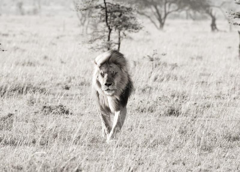 Leeuw in de wind stock fotografie