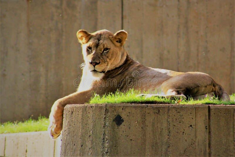 Leeuw die in de ochtendzon zonnebaden stock foto's