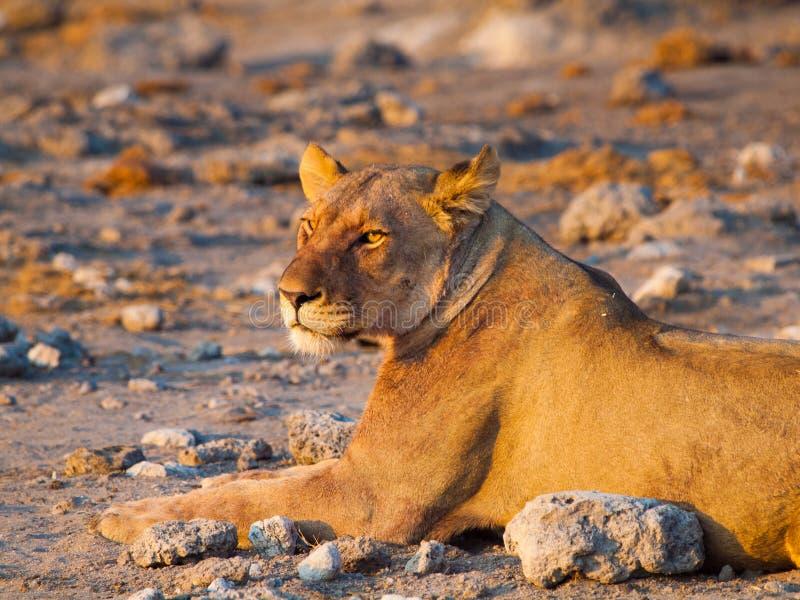 Leeuw die een rust hebben stock foto's
