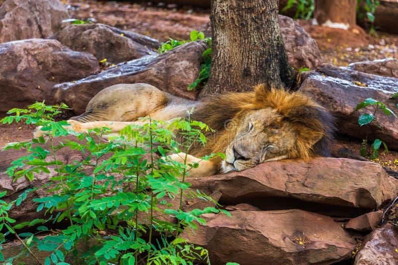 Leeuw die en dichtbij een boom rusten slapen royalty-vrije stock foto's