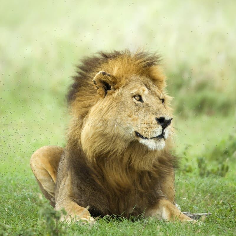 Leeuw die in het gras ligt royalty-vrije stock fotografie