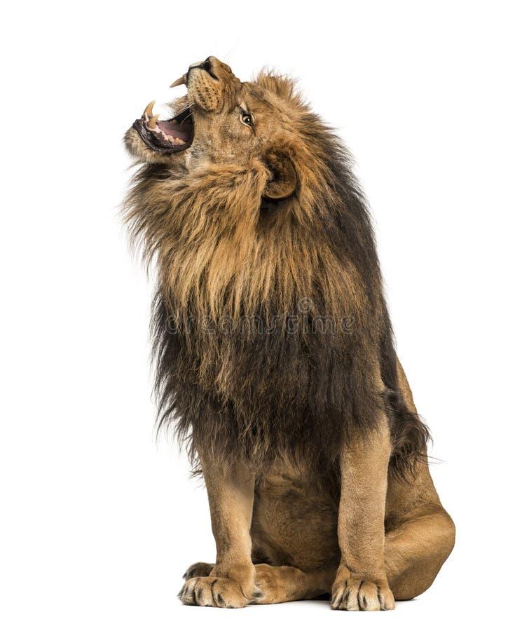 Leeuw die, het zitten, Panthera-Leeuw, 10 jaar oud brullen stock foto