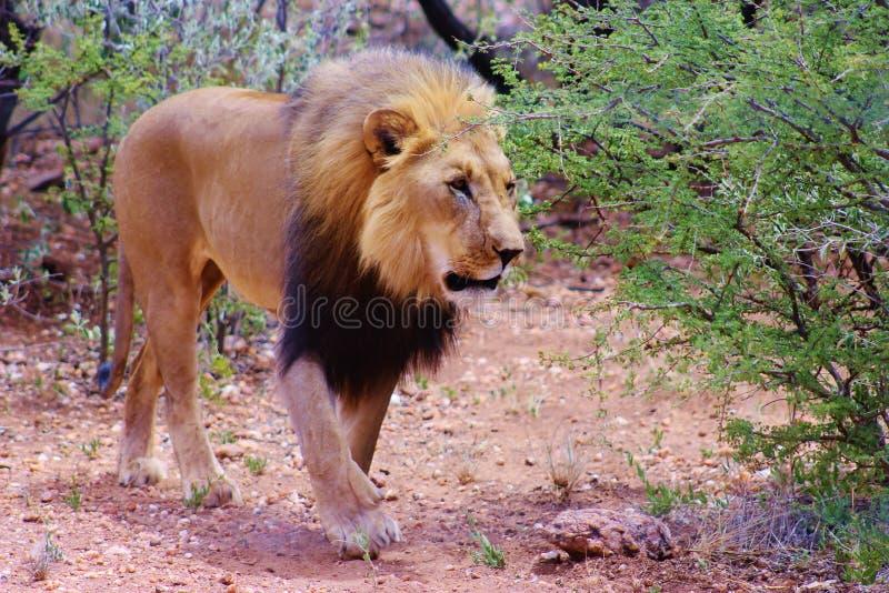 Leeuw die in Namibië wordt gevangen stock foto's