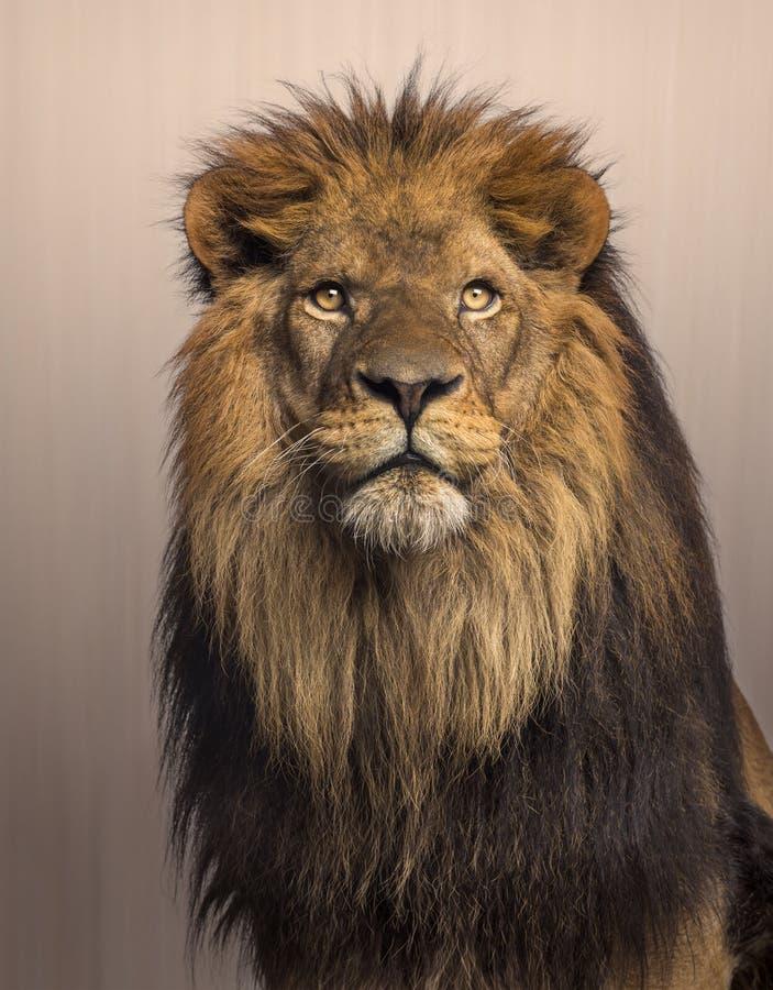Leeuw die omhoog op bruine achtergrond kijken royalty-vrije stock foto's