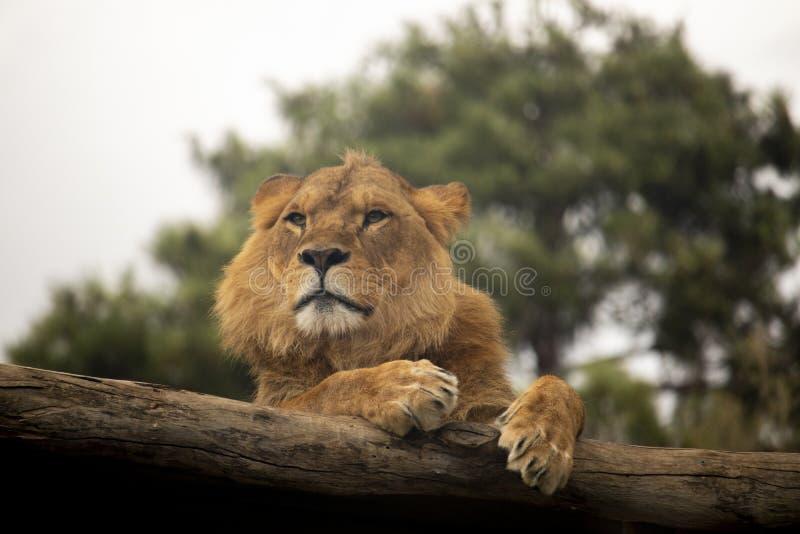 Leeuw die op een logboek rusten stock foto
