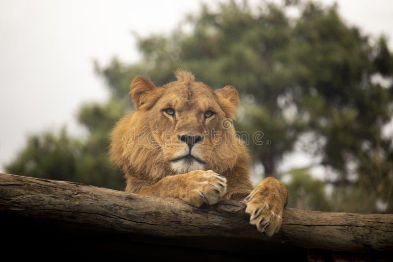 Leeuw die op een logboek rusten stock afbeelding