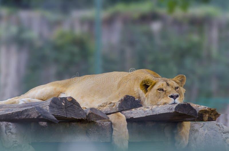 Leeuw die op een rots liggen stock fotografie