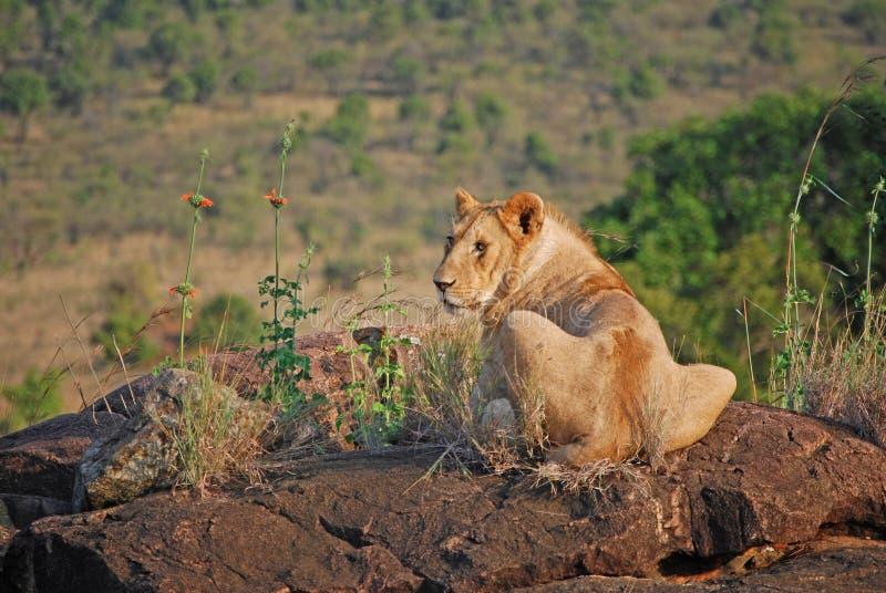 Leeuw die op een Rots zonnebaadt stock fotografie
