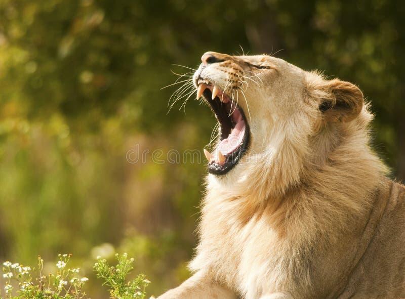 Leeuw die Tanden toont stock afbeeldingen