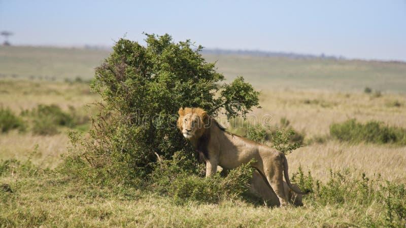 Leeuw die uit van dichtbij een struik kijken royalty-vrije stock foto's