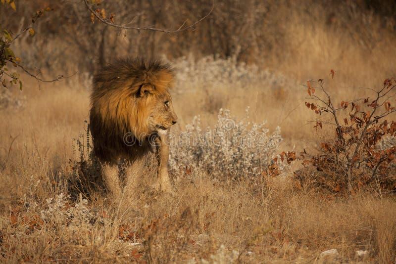 Leeuw die van kant wordt gezien stock foto