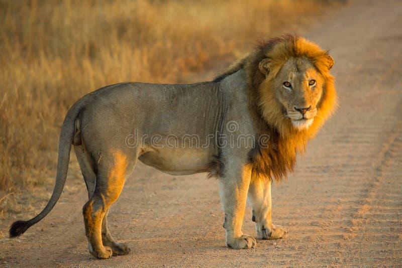 Leeuw die zich bij zonsopgang bevinden stock fotografie