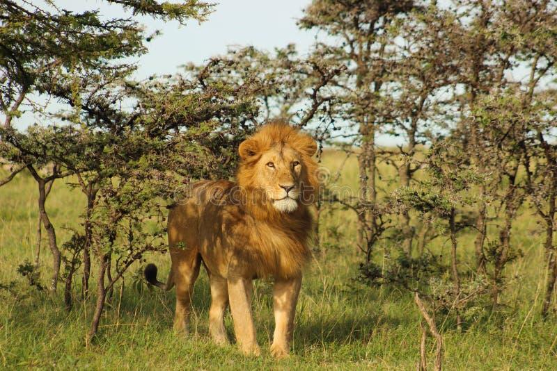 Leeuw die zich in de schaduw bevinden royalty-vrije stock foto