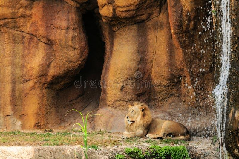 Leeuw door waterval royalty-vrije stock afbeeldingen