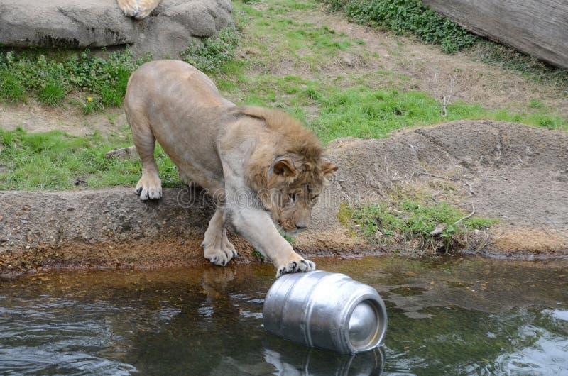 Leeuw en een bier keg2 royalty-vrije stock afbeelding