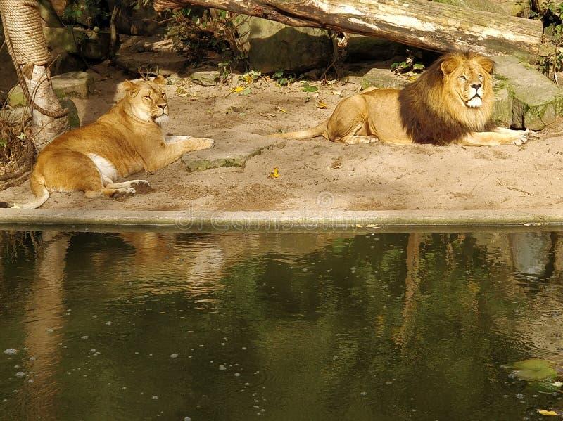 Leeuw en leeuwin stock afbeeldingen