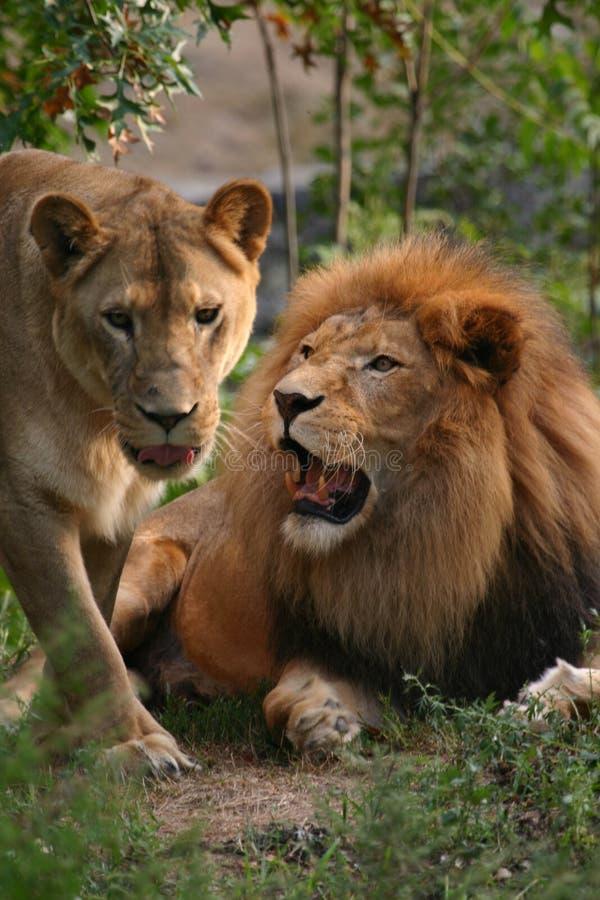 Leeuw en leeuwin royalty-vrije stock afbeelding