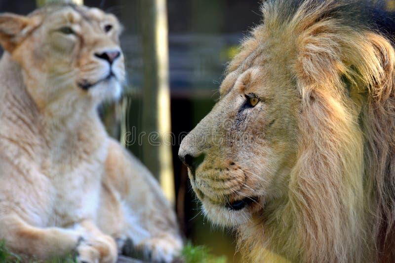 Leeuw en leeuwin Aziatisch leeuwenportret stock afbeeldingen