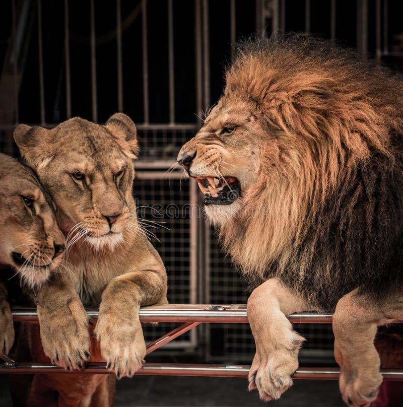 Leeuw en leeuwin twee stock afbeelding