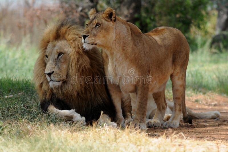Leeuw en leeuwinzitting op gras stock foto's