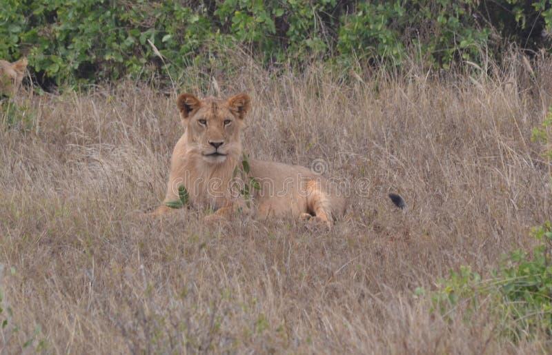 Leeuw in gras wordt gezeten dat stock afbeelding