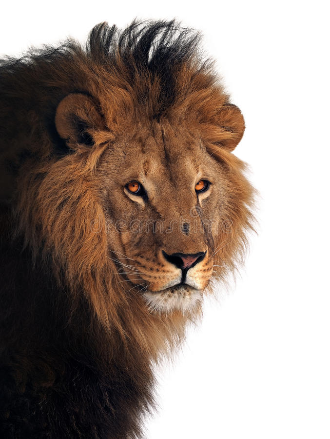 Leeuw grote die koning van dieren bij wit wordt geïsoleerd royalty-vrije stock afbeelding