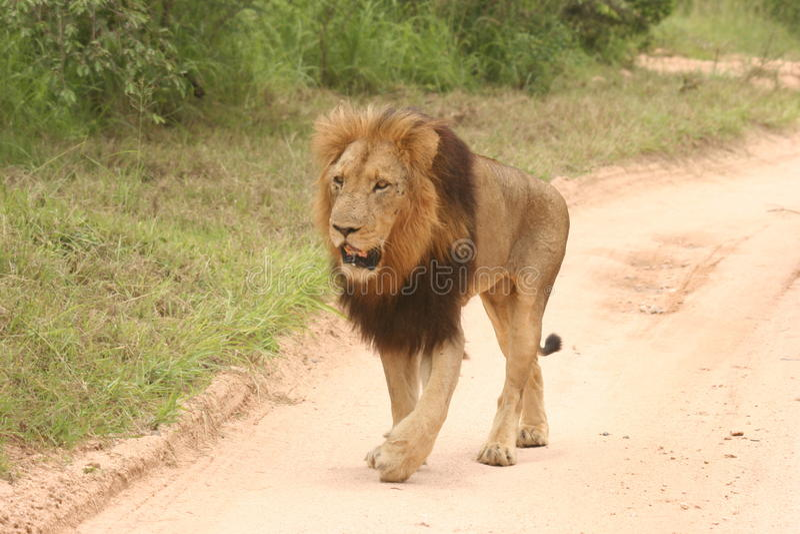 Leeuw het mannelijke lopen stock foto