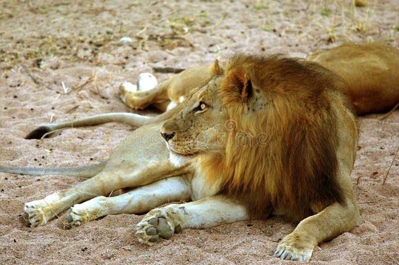 Leeuw in het Nationale Park van Ruaha, Tanzania stock afbeelding