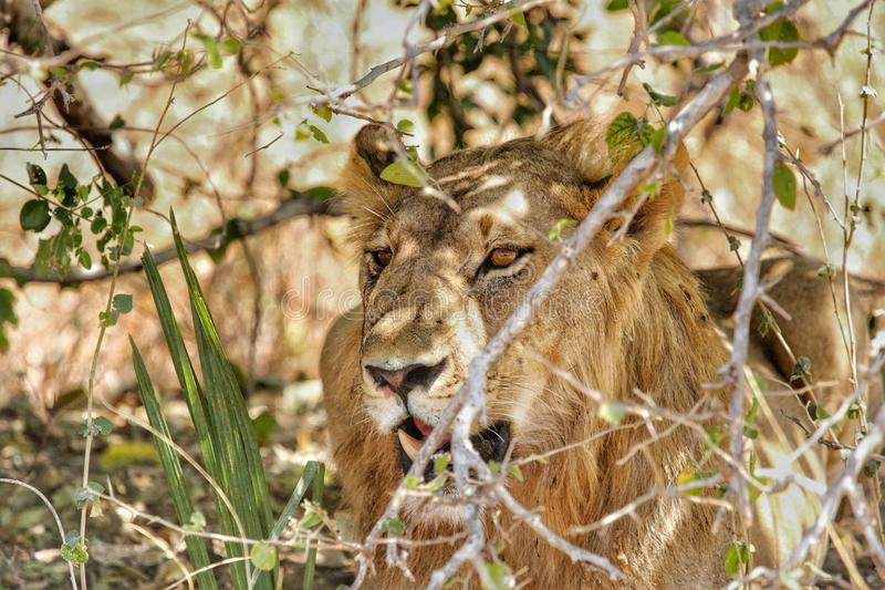 Leeuw in het Nationale Park van Ruaha, Tanzania stock foto