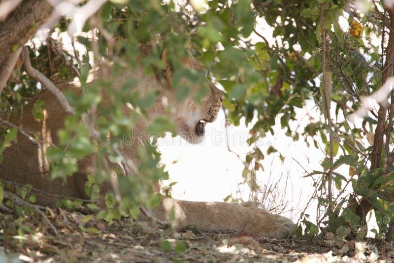 Leeuw in het Nationale Park van Ruaha, Tanzania stock fotografie