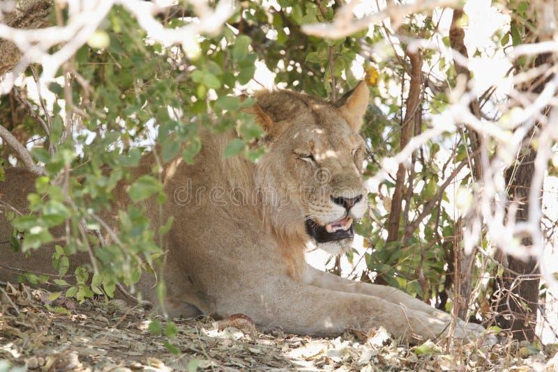 Leeuw in het Nationale Park van Ruaha, Tanzania royalty-vrije stock foto
