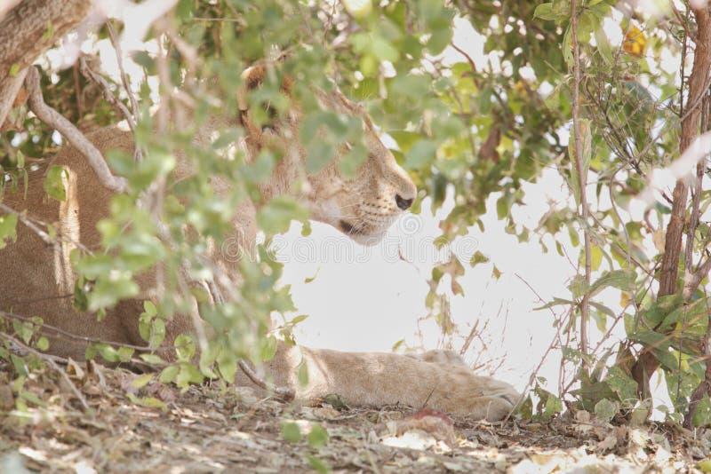 Leeuw in het Nationale Park van Ruaha, Tanzania royalty-vrije stock foto's