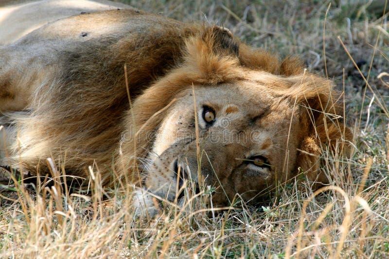 Leeuw in het park stock afbeeldingen