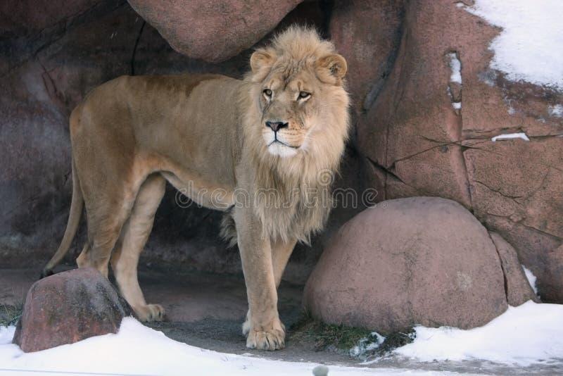 Leeuw in Hol stock afbeelding