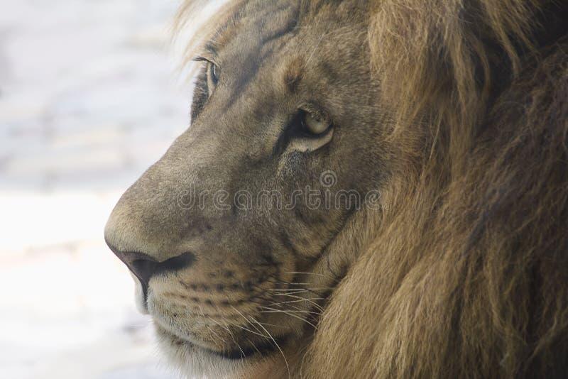 Leeuw hoofdclose-up in profiel stock fotografie