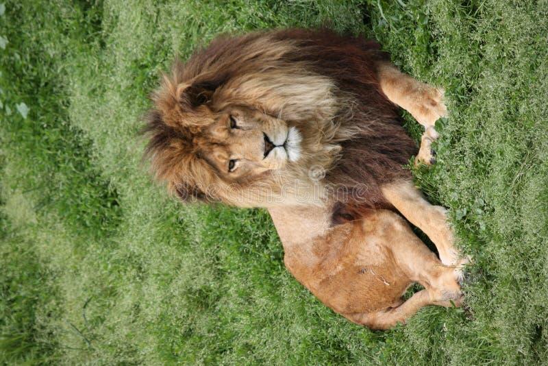 Leeuw - Koning van Wildernis stock afbeelding