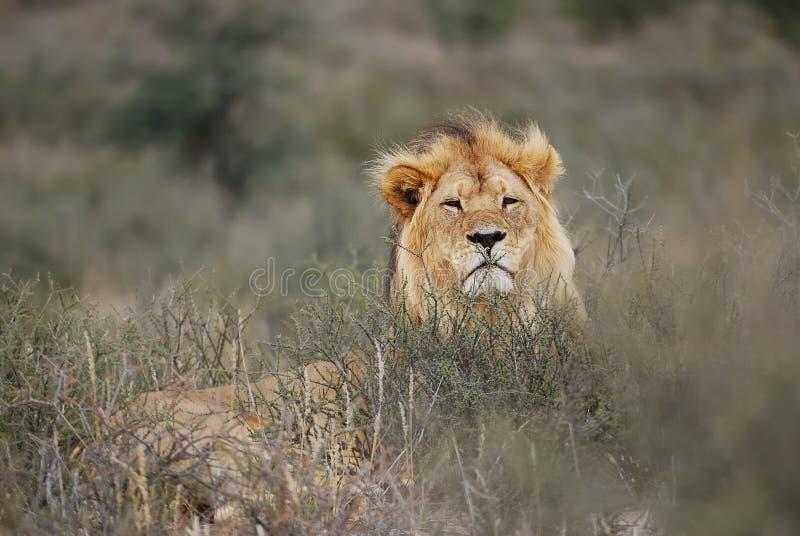 Leeuw (leo Panthera) stock foto's
