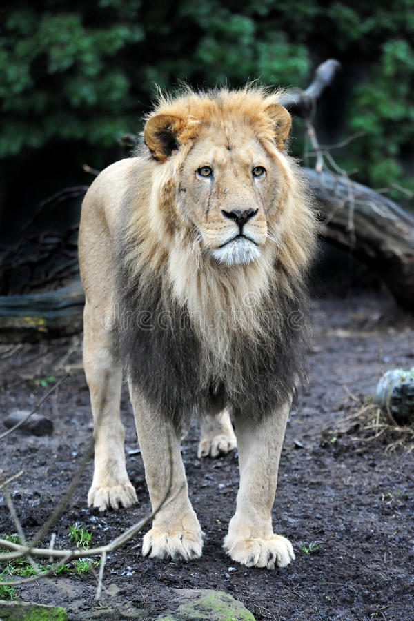 Leeuw (leo Panthera) royalty-vrije stock afbeelding