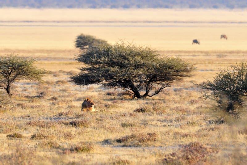 Leeuw, Lion, Panthera leo stock images