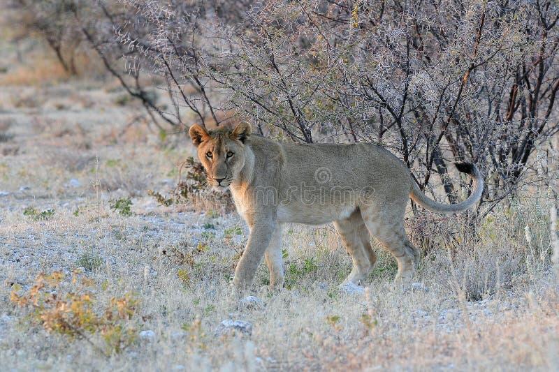 Leeuw, Lion, Panthera leo royalty free stock image
