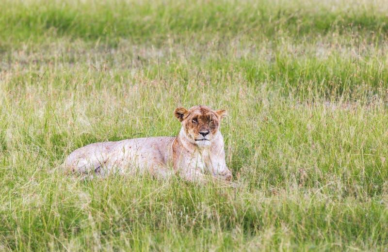 Leeuw in Maasai Mara, Kenia stock foto's