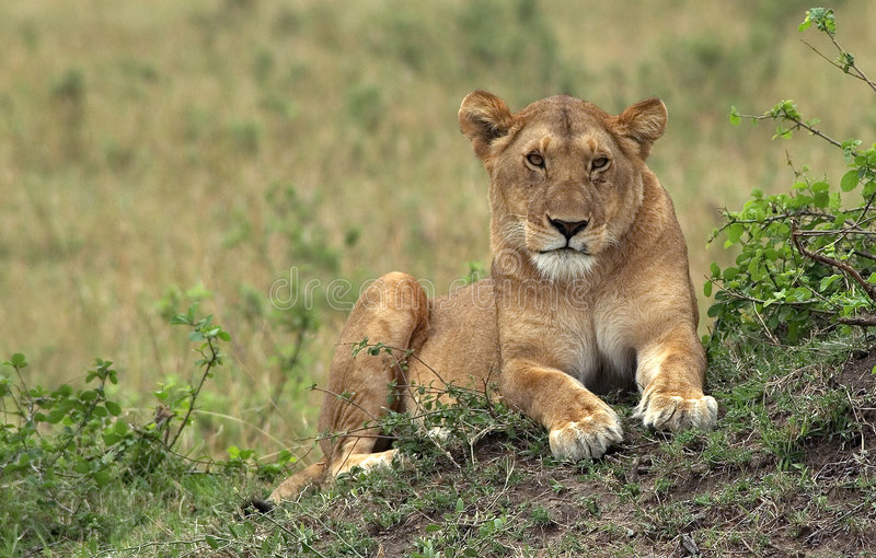 Leeuw masai-Mara royalty-vrije stock foto's