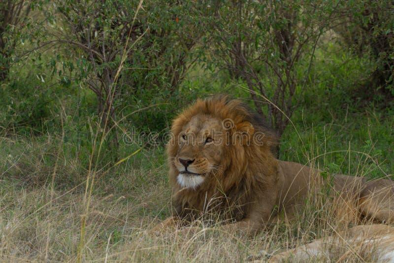 Leeuw in Masai Mara royalty-vrije stock fotografie