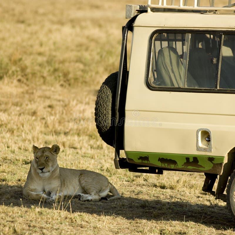 Leeuw Masai mara Kenia stock afbeelding