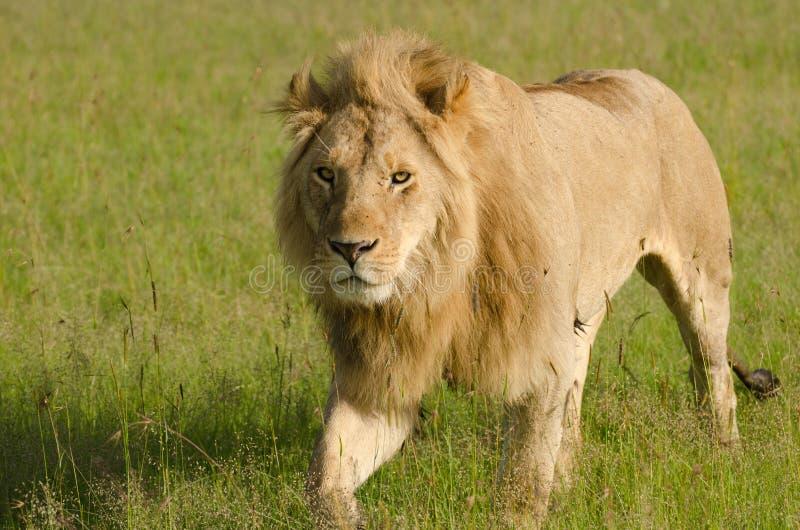 Leeuw in Masai Mara National Park, Kenia stock fotografie