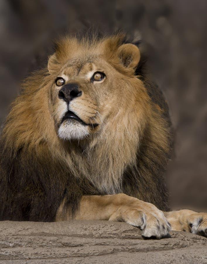 Leeuw met mooie ogen royalty-vrije stock afbeelding