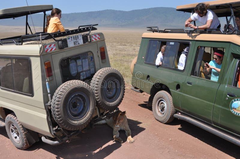 Leeuw onder de jeep tijdens safari stock afbeeldingen