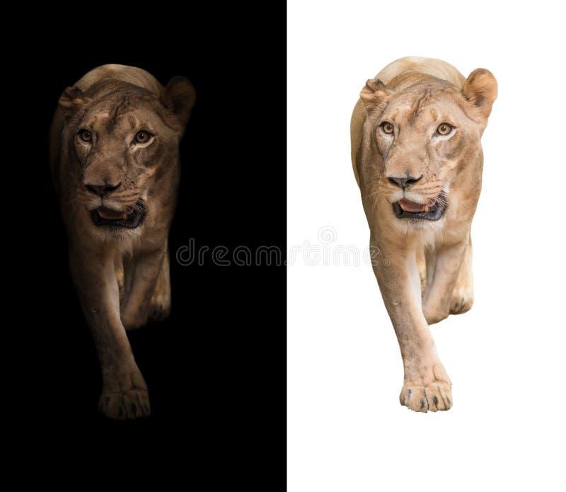Leeuw op de donkere en witte achtergrond royalty-vrije stock fotografie