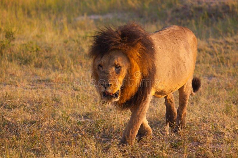 Leeuw op de vlaktes van het Nationale Park van Chobe, Botswana royalty-vrije stock foto