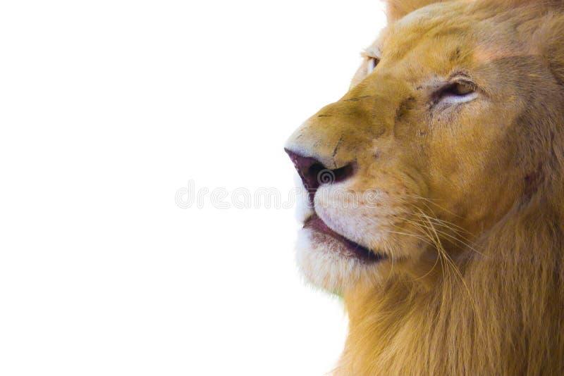Leeuw op witte achtergrond wordt ge?soleerde die stock foto